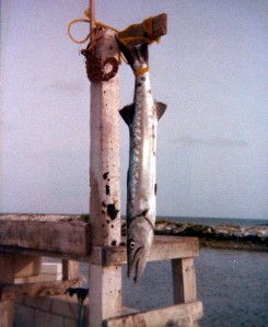 Big Barracuda caught at Hens & Chickens Reef, circa 1976